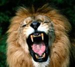 Er leone ariconoscente
