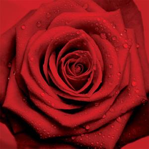 La rosa, un fiore leggendario e afrodisiaco
