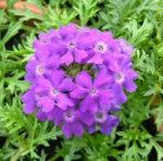 La Verbena, la pianta che riaccende le passioni