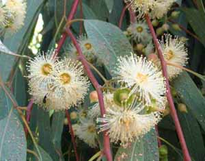 Eucalipto. la pianta che teneva lontano le malattie