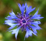 Il Fiordaliso, un fiore bello profumato e dalle proprietà terapeutiche