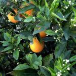 Arancio dolce, il pomo d'oro di Giunone