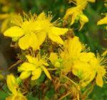 Iperico, la pianta che cura la depressione e che protegge dalla morte per un anno