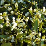 Il vischio, la pianta di buon auspicio che ha proprietà curative