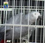 Cites: sequestrati tre esemplari di pappagalli tutelati dalla convenzione di Washington e destinati al commercio via internet