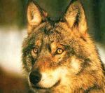 Torna libero il lupo soccorso dalla forestale durante l'emergenza maltempo