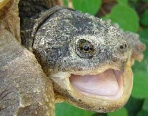 Esemplare di tartaruga azzannatrice rinvenuta lungo il fiume Tevere nella zona del Reatino