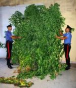 Coltivava piante di marijuana nell'orto