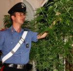Arrestati coltivatori di marijuana