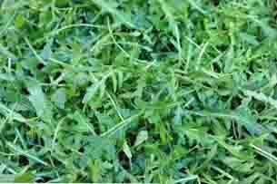 La rucola, la pianta della lussuria