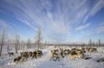 I ricchi di renne