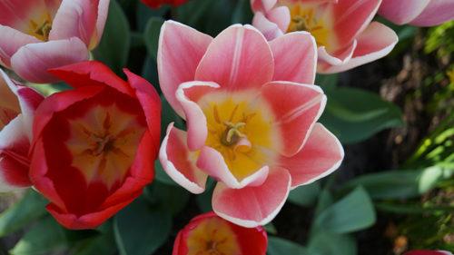Tulipani delle Meraviglie by Steflor. Gli eventi del 6 e 7 aprile a Paderno Dugnano