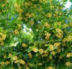 Il Tiglio, la pianta dei veggenti