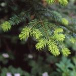 Forestale e Ama insieme per la raccolta degli alberi di Natale nella Capitale