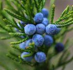 Il Ginepro, la pianta scoperta da una principessa è un toccasana per la nostra salute