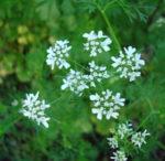 Il Coriandolo, una pianta da usare con cautela