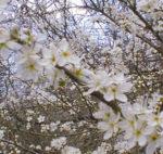 Il biancospino, la piante delle fate
