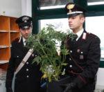 Coltivava piante di canapa indiana nella stanza da letto. Studente arrestato dai carabinieri