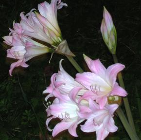 La Belladonna, la pianta usata dalle streghe