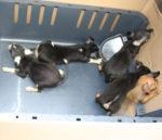 Sequestrati ventidue cuccioli rinchiusi in un bagagliaio