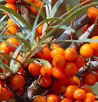Olio di olivello spinoso per rigenerare i capelli