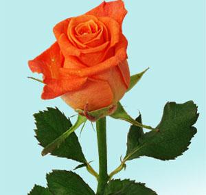 La rosa che vive senz'acqua