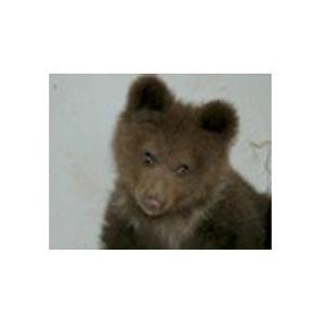 Sta bene il piccolo orso catturato in Val Rendena