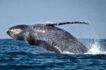 La balena perseguitata