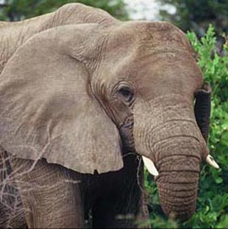 Elefanti da guerra e strano rodeo