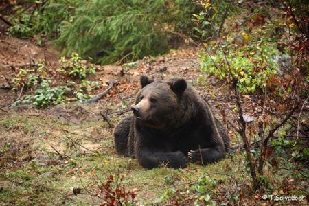 """Incontri al museo per parlare di fauna: """"Orso in Trentino"""""""