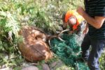 Cervo liberato da una rete in Val di Cembra