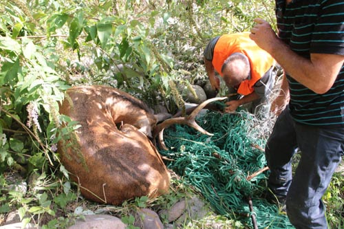 Foto Archivio Servizio Foreste e fauna - PAT - Cervo liberato da una rete in Val di Cembra