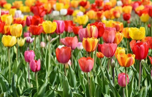 Tulipani delle Meraviglie by Steflor. Ballo, yoga e pilates dal 12 al 14 aprile a Paderno Dugnano