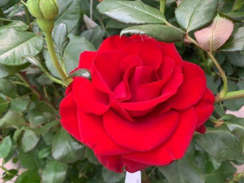 Festival delle rose – amo…rosa…mente!